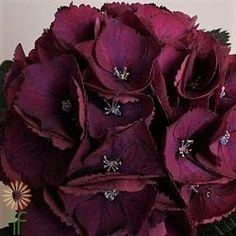 HYDRFRBU-BURGUNDY-HYDRANGEA_opt Anemone Wedding, Red Wedding Flowers, Burgundy Flowers, Diy Flowers, Hydrangea Colors, Hydrangea Flower, Flower Pots, Hydrangeas, What Is Wedding