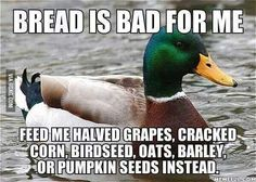 When feeding ducks, please keep these alternate suggestions in mind.  A diet of mostly bread actually leads to crippling birth defects in baby ducks, and a life of poor health.