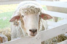 mr. sheep @ the Winnebago County Fair