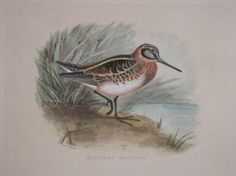 "shore birds scolopax gailliniuaitalian contemporary hand coloured lithograph 9 x 12"" $75"