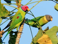 Plum-headed parakeet - Wikipedia    Native to the Indian Subcontinent