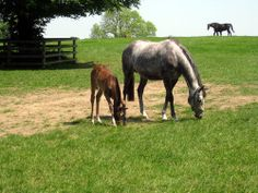Mares and foals in Irish National Stud 2012.
