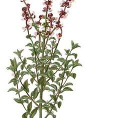 Busuioc – tratamente naturiste busuioc – ceai de busuioc#1