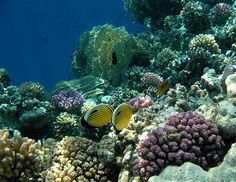 Butterfly fish and raspberry coral in the Red Sea.