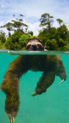 Laiskiainen uimassa. Baby Animals Super Cute, Cute Little Animals, Cute Funny Animals, Cute Sloth Pictures, Cute Animal Pictures, Sloth Photos, Cute Baby Sloths, Baby Otters, Tier Fotos