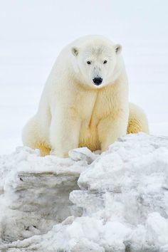 animalsafari: Ice Bears of Arctic - 3 by Siddhardha Garige on Fivehundredpx