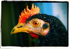 Rooster by Vencislav Stanchev on 500px