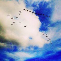 Geese - North Norfolk