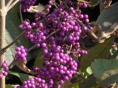 Soorten bessen en vruchten - najaarsvruchten en bessen in de tuin