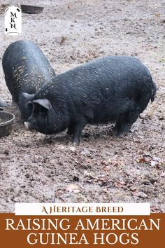 Learn all about the American Guinea Hog breed including how much they eat, how quickly they grow, and whether they'd make a good breed for you and your homestead.