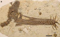 Nou pterosauri descobert a la Xina: Guidraco venator