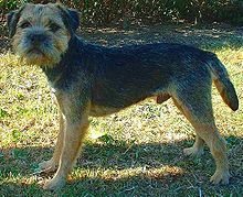 Blue Border Terrier - this is what my guy would look like if he wasn't such a shaggy dude.