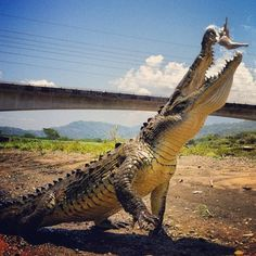 A reader of Costa Rica Star submitted this picture of a Crocodile eating a piece of chicken on the Tarcoles River, North of Jaco Beach Costa Rica