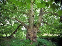 Platane d'Orient - St-Cyr en Arthies (Val d'oise) - région Ile de France - 400 ans - 1500m2 de surface - 40m de haut - classé plus bel arbre d'Ile de France
