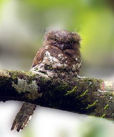 Javan Frogmouth ( Batrachostomus javensis )
