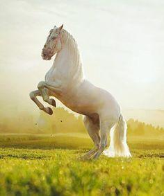 PRE stallion Armas Avellano, ow. Blanka Satora. Poland