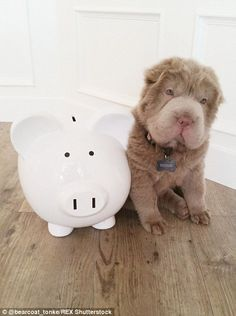 Tonkey the bear-coated shar pei puppy. Look at that face!