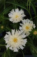 """Stokesia laevis 'Mary Gregory' - I have purple from Aunt Enid back in 1990. She'd be so happy to have a yellow which is rarer. I started seeds in Feb.2017 & ended up with about 2 doz. little plants. I planted about 12 in a hanging basket in March & they are doing great and are 2 1/2"""" tall April 10. (tbb)"""