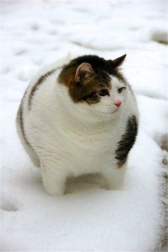 33 Popular Fat Cat Photos That Will Improve Your Day
