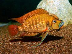 Tropical Freshwater Fish, Freshwater Aquarium, Tropical Fish, Saltwater Tank, Saltwater Aquarium, Aquarium Fish, Reptile Enclosure, Reptile Cage, Lac Tanganyika