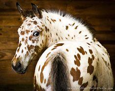 Leopard Appaloosa
