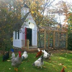 Chickens running free