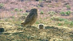 Burrowing owls! The Mysterious Lives Of 7 Animals Who Make Their Homes Underground https://www.thedodo.com/community/rachelvee/underground-animals-video-813166744.html