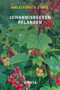 Johannisbeeren im Garten pflanzen. Die süßsäuerlichen, aromatischen Beeren freuen sich großer Beliebtheit. Wie viel Abstand zwischen den Johannisbeerensträucher ist ideal? Wann pflanzt man am besten Johannisbeeren? Wann sind Johannisbeeren erntereif?  #johannisbeeren #johannisbeer #johannisbeerstrauch #garten #beerenstrauch #meinschönergarten #garta #gartenliebe #gartenwissen #gartenideen Plants, Cypress Trees, Diy Garden Projects, Magnolias, Harvest, Plant, Planets
