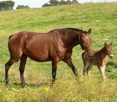 Alter Real mare and foal Portuguese Royal Family, Riding School, Horse Bridle, Most Beautiful Animals, Portugal, Alters, Zebras, Pony, Racing