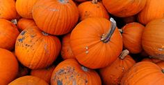 Pick your own Halloween pumpkins straight from the field