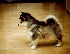 Corgi-Husky-Mix-Puppy-with-Tail.jpg