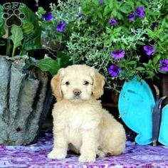 Cockapoo Puppy in New Holland, PA Miniature Cockapoo, Poodle Puppy Miniature, Cockapoo Puppies For Sale, Cockapoo Dog, Dog Breed Info, Greenfield Puppies, Dog Breeds, Holland, Labrador Retriever
