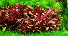 This is a small version of the Alternanthera genus which is well suited for small to medium planted aquariums, best used as a foreground plant as it has a compact growth. Given its slow growth rate, it requires a lot of light and the addition of CO2 will give her a nice red-violet colour.