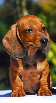 National Puppy Day, a day to celebrate puppies and promote adoption. Dachshund Puppies, Weenie Dogs, Dachshund Love, Cute Puppies, Pet Dogs, Dogs And Puppies, Dog Cat, Daschund, Adorable Dogs