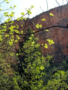 Spring Leaves on Sedona, Arizona's, Boynton Canyon Trail