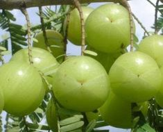 Drink Amla Juice for weight loss and multiple health benefits Benefits Of Berries, Apple Health Benefits, Carrot Benefits, Micro Nutrients, Bowl Of Cereal, Reduce Cholesterol, Medicinal Plants, Home Remedies, Health Products