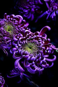 Purple flowers are a great way to add interest to your yard or landscape. See some of our favorite purple garden flowers! Exotic Flowers, Amazing Flowers, Purple Flowers, Beautiful Flowers, Purple Mums, Yellow Roses, Beautiful Images, Pink Roses, Purple Love