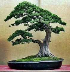 Bonsai. Andrea mentioned she liked bonsai and would like to feature that in her home. The bonsai will add colour to the apartment.