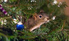 En recueillant un petit écureuil blessé, ils ne se doutaient pas que celui-ci s'installerait dans...leur sapin de Noël !