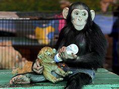 Chimp and tiger cub cuteness too adorable =)