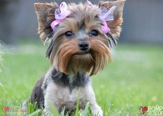 238 Best Teacup Yorkie Images On Pinterest Teacup Yorkie Cute