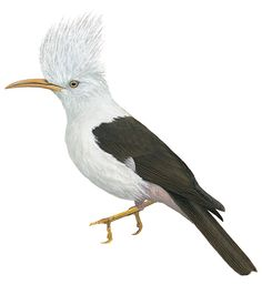 Extinct Bird: Reunion Starling (1850's)