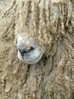 ... bed head sheep ...