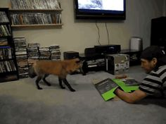 """Share this """"Red fox pouncing on a box"""" animated gif image with everyone. Gif4Share is best source of Funny GIFs, Cats GIFs, Dog GIFs to Share on social networks and chat."""