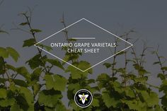 Do you occasionally enjoy taking the road less travelled? If you're even slightly adventurous, reach for one of Ontario's lesser-known, but no-less-appealing, grape varietals. Chardonnay and Cabernet may be your go-to vinos, but read on to learn more about the best wines you may have never tasted. #Wine #Ontario #Local #Varietal #GrapeGrowing #VQA