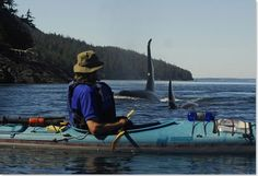 kayak with orca whales. vancouver island, bc