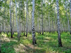 Russian birch forest in the summer - Google