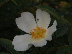 Scottish Wild Rose