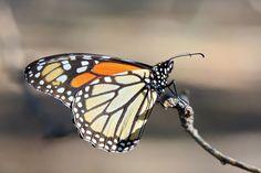 Monarch Butterfly  Animals photo by cmcneill17 http://rarme.com/?F9gZi