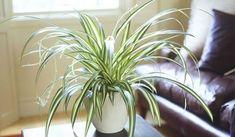 La plante araignée est une plante assainissante d'intérieur 9 Plantes d'Intérieur Qui Nettoient l'Air et Qui Sont Quasi Increvables.